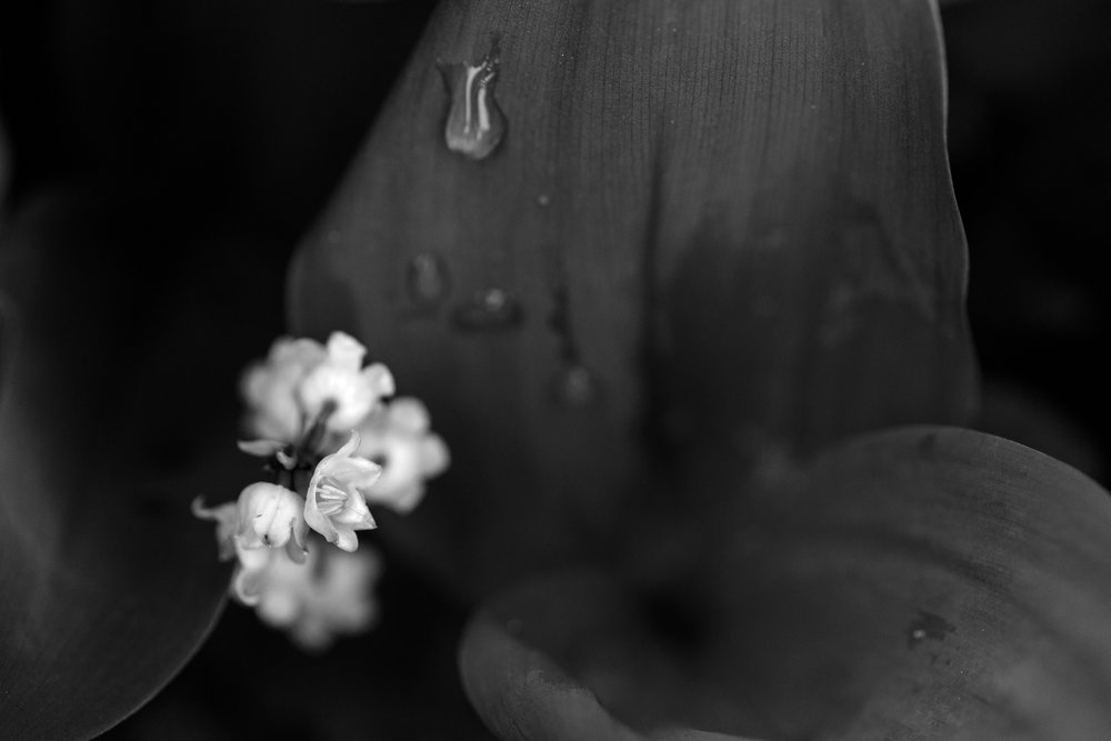 Lily of the valley macro photograph in black and white