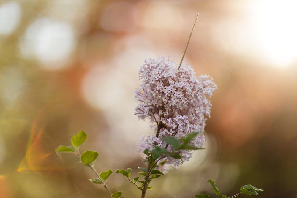 Lilacs in Wakefield, RI