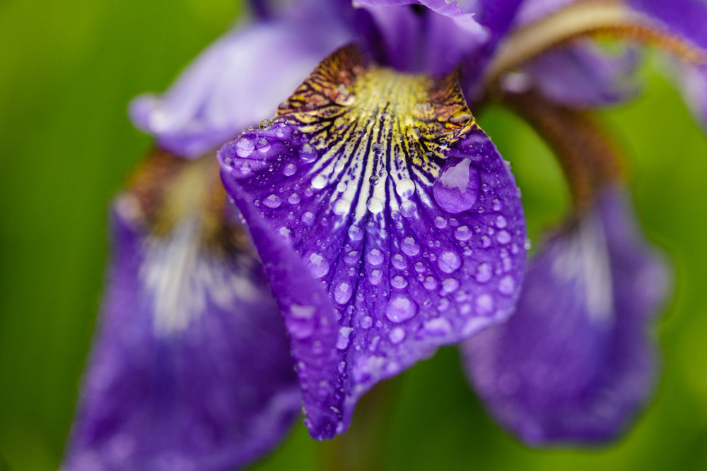 Purple iris with raindrops
