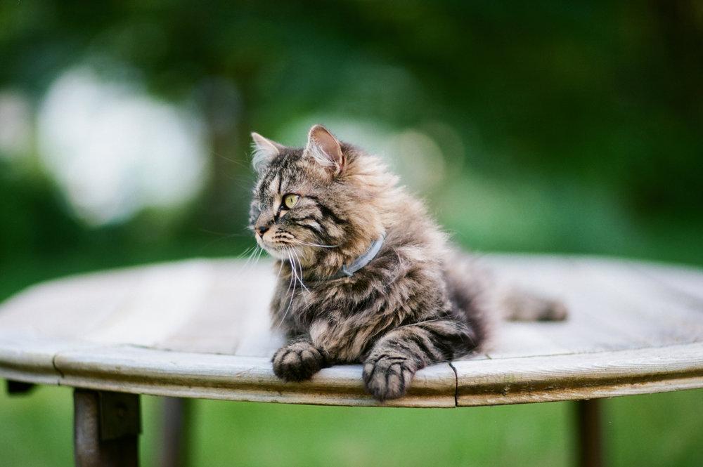 Maine Coon Cat, Kodak Ektar film
