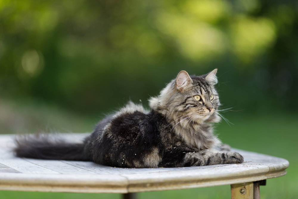 Maine Coon cat on table in Wakefield, RI