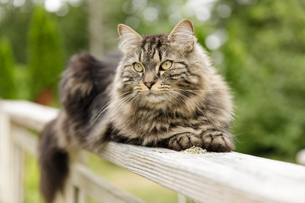 Maine Coon cat on deck railing in Wakefield, RI