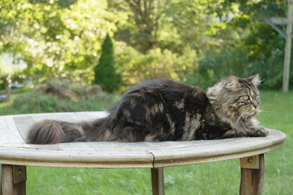 Maine Coon cat on patio table in RI