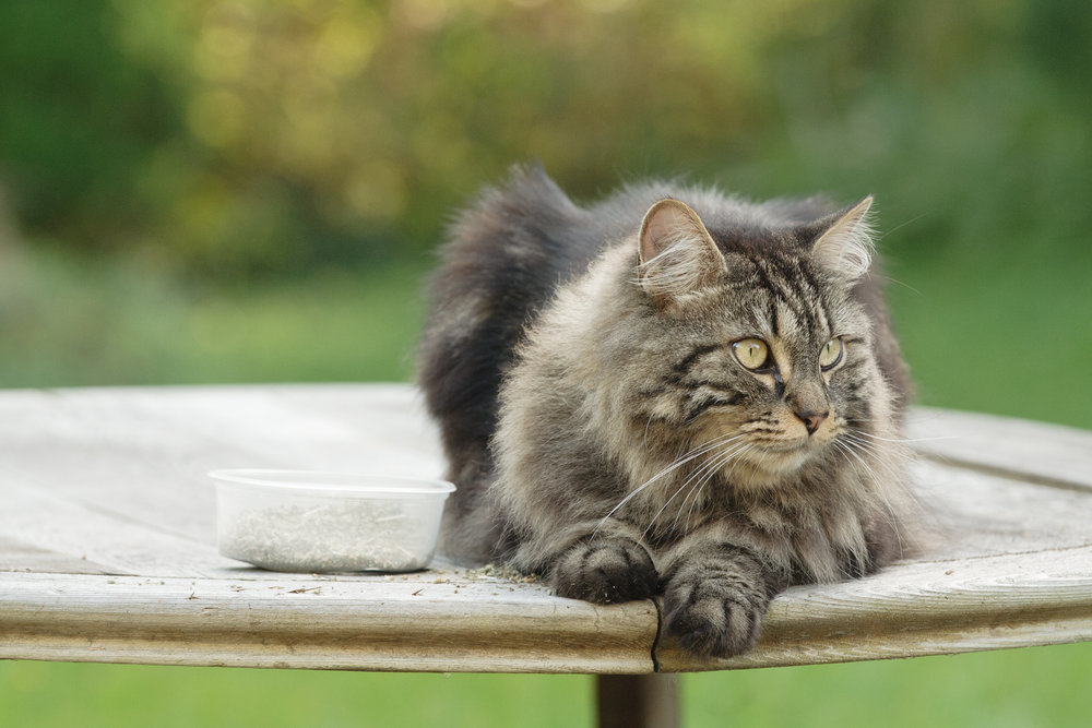 Maine Coon cat in RI