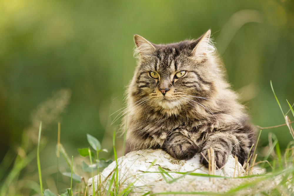 Maine Coon cat on rock in Wakefield, RI
