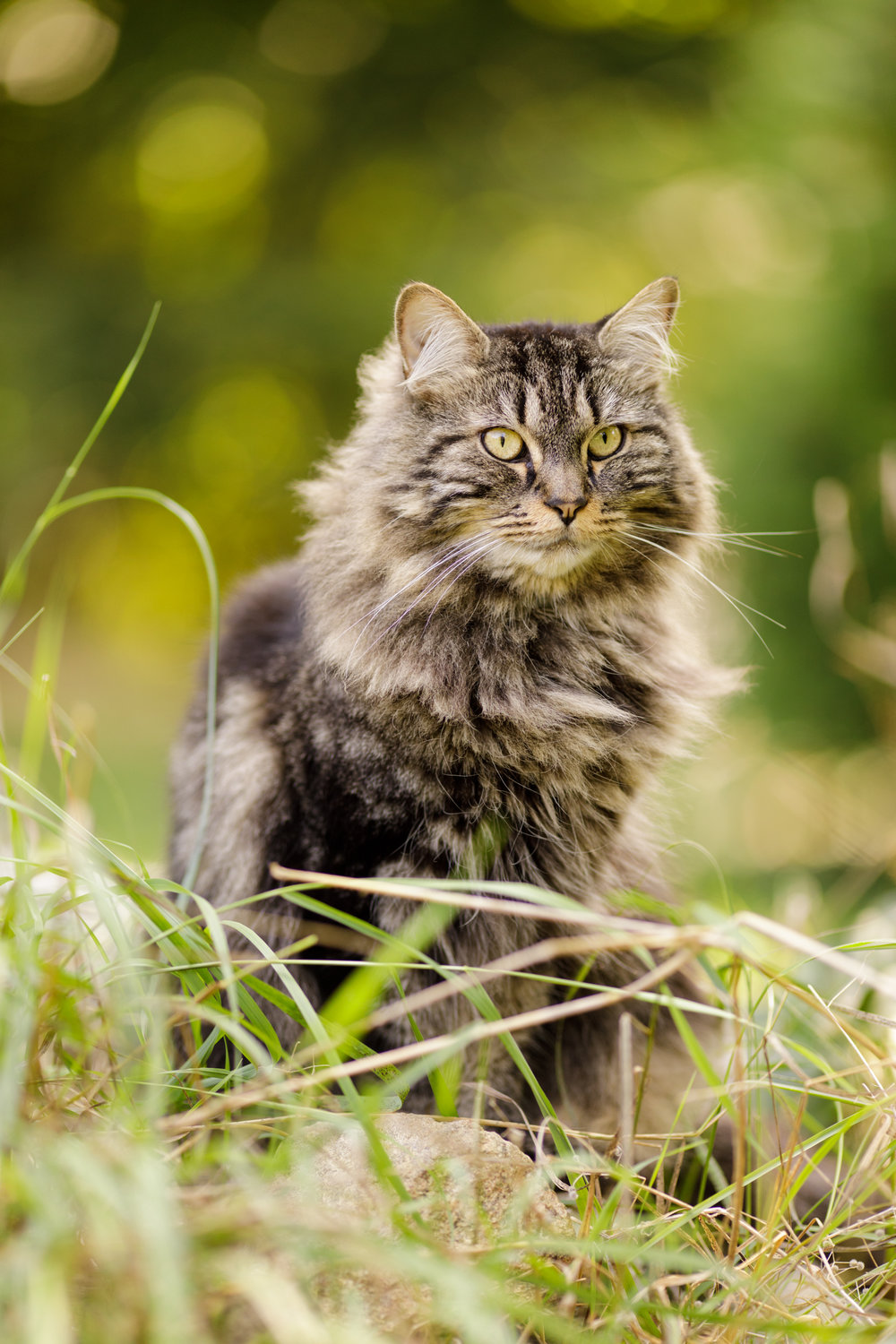 Maine Coon cat in Wakefield, RI