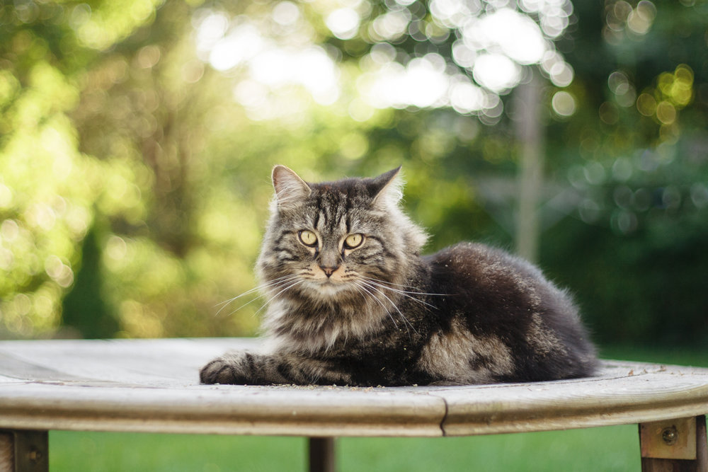 Maine Coon cat on table