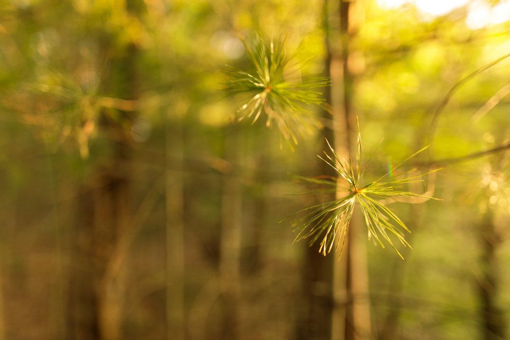 Pine trees in Charlestown, RI