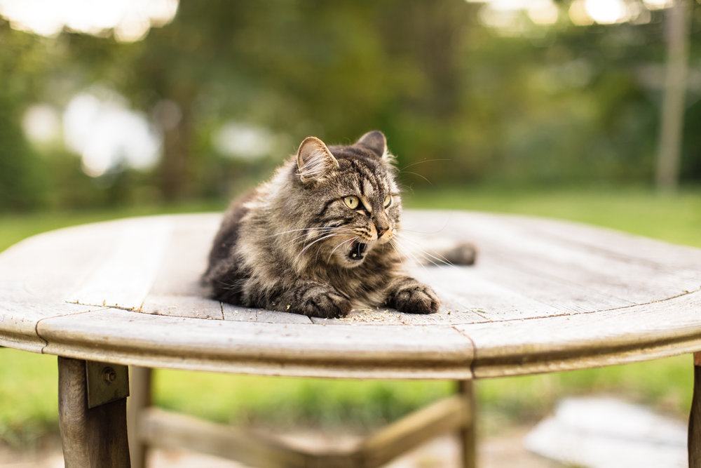 Maine Coon cat on patio table