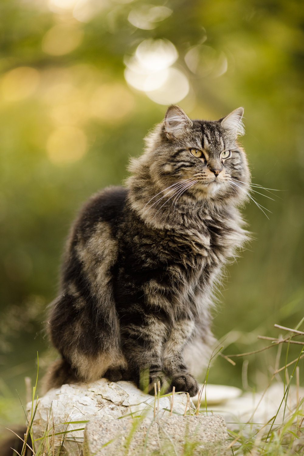 Maine Coon cat on rock