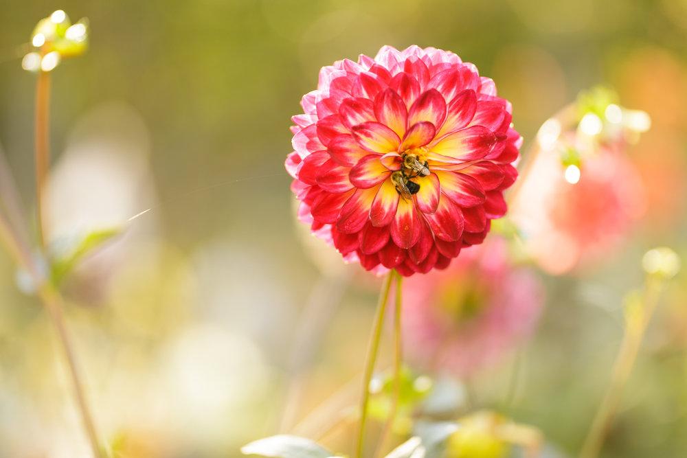 Bees on a dahlia flower