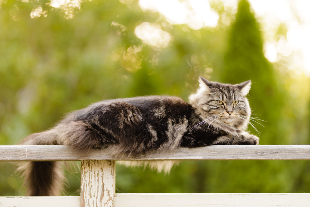 Maine Coon cat on deck railing