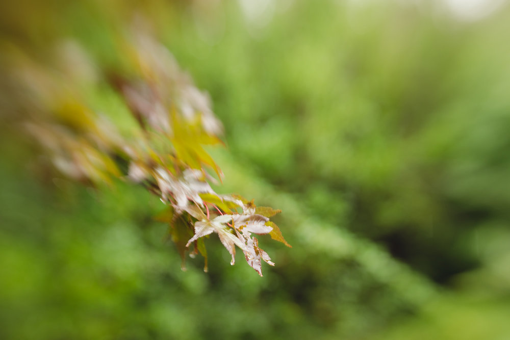 Japanese maple leaf with raindrops