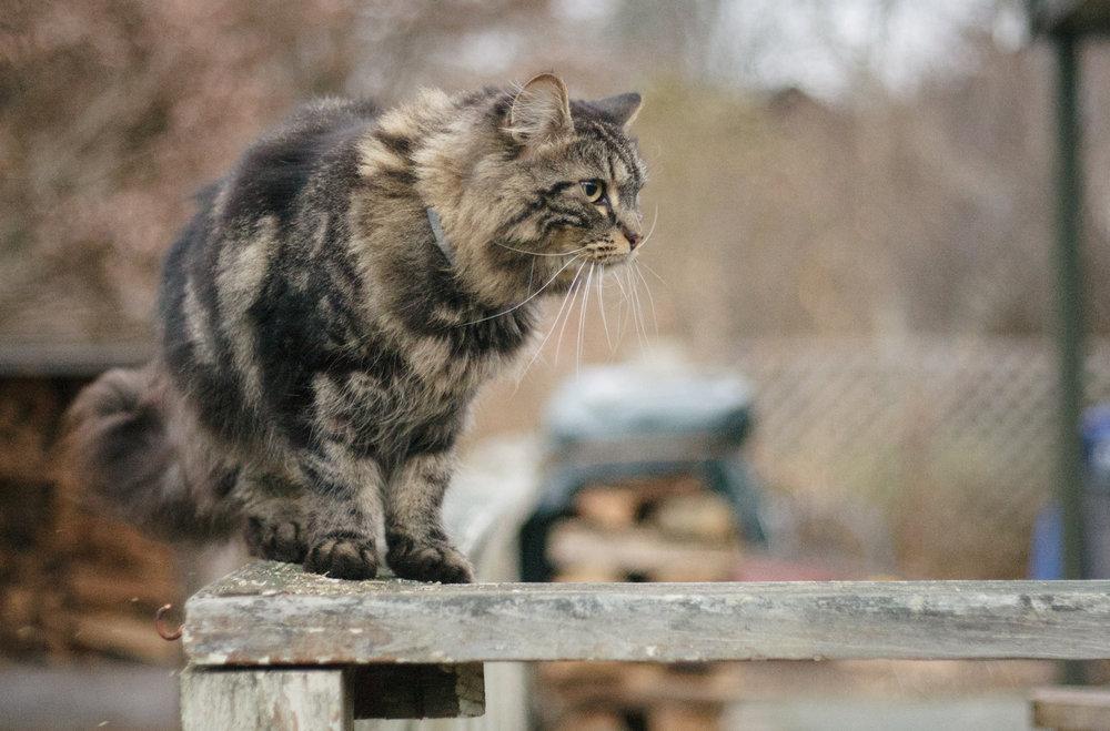 Maine Coon cat in Wakefield, RI