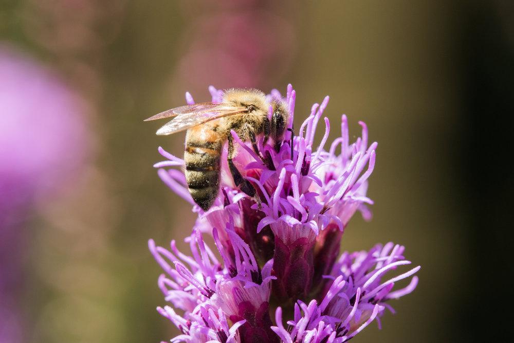 Bee on liatris flower in Wakefield, RI