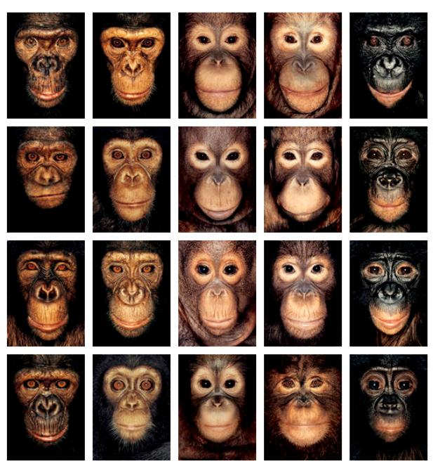 crookedindifference :       Do All Apes Look Alike?       Photographer James Mollison shows us 40 straight-on mugshots of various species of apes. Together, we can see the physical differences in, and dare I say, variety of personalities?