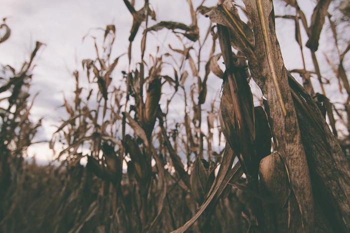 Corn Maze-12.jpg