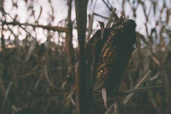 Corn Maze-22.jpg