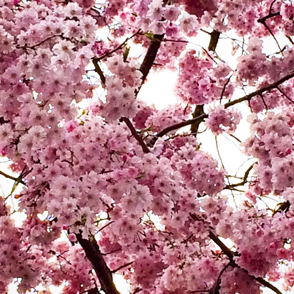JapanSuite_cherry