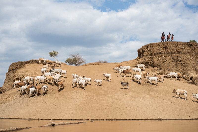 Young boys watch over the cattle as they drink from the river.