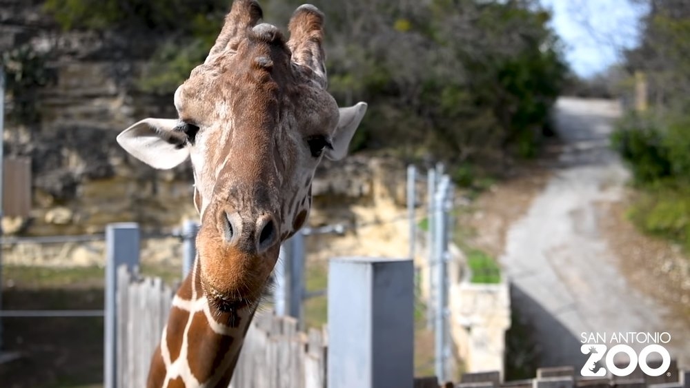 The San Antonio Zoo Is Attempting To Save Geoffrey The