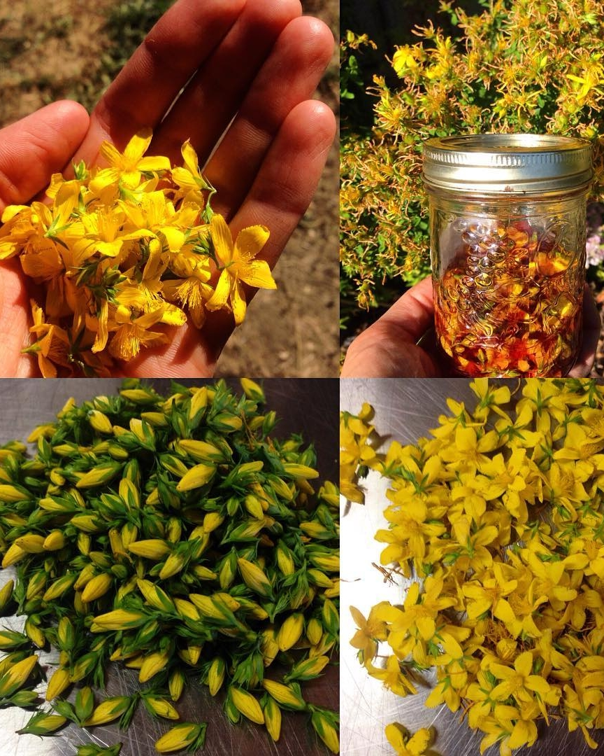 st johnswort tincture.jpg