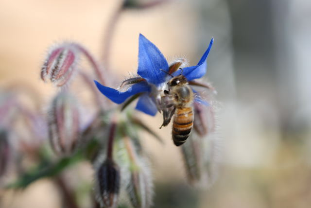 borage flower.jpg