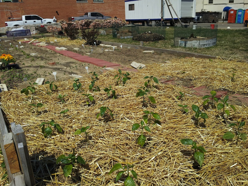 peppers in encore park community garden