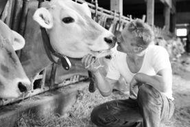 """Willi Schmid und """"seine"""" Kühe."""