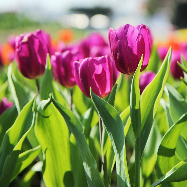 tulipanes-de-color-fucsia.png