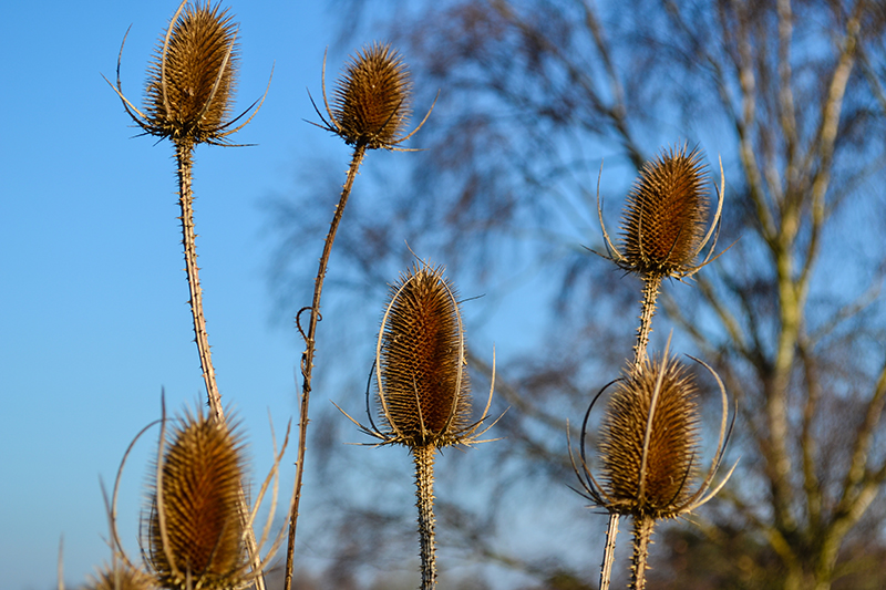 group teasel.jpg