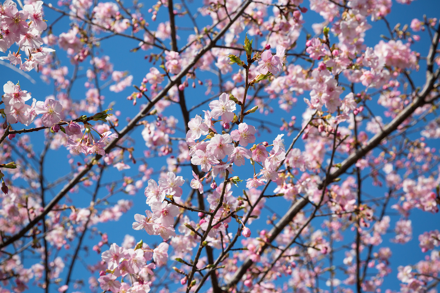 The cherry blossom blooms in Tokyo on the day after setsubun, which I thought was rather apt! It is hard to ignore the beauty of the spring blossom, and this particular image of mine has just received 12,464 views on Flickr as I type!
