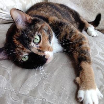 adopt chicago cat