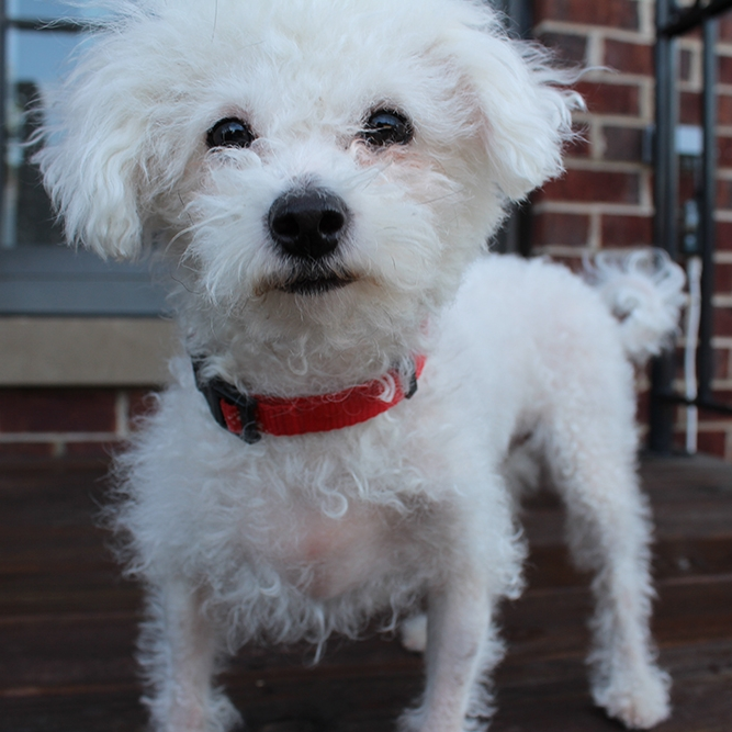 Adopt Chicago Dogs poodle looking for a home