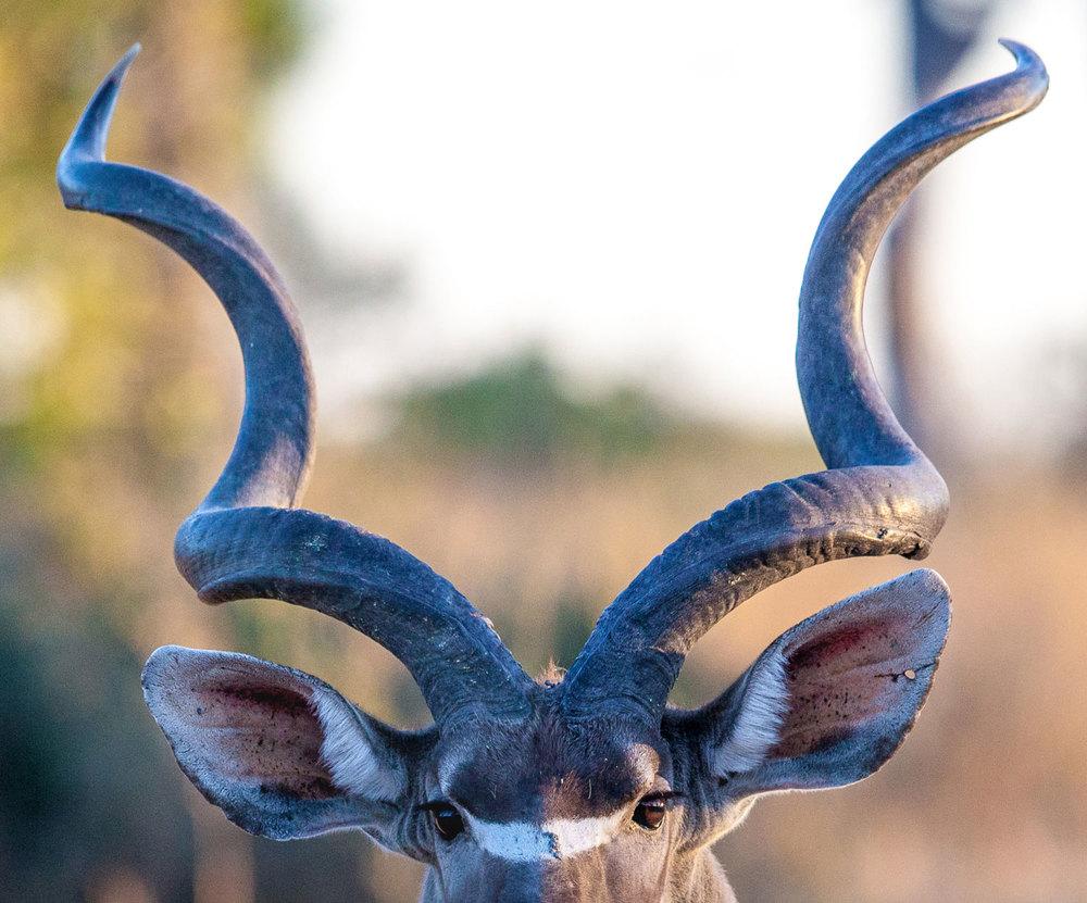 Lesser Kudu Horns