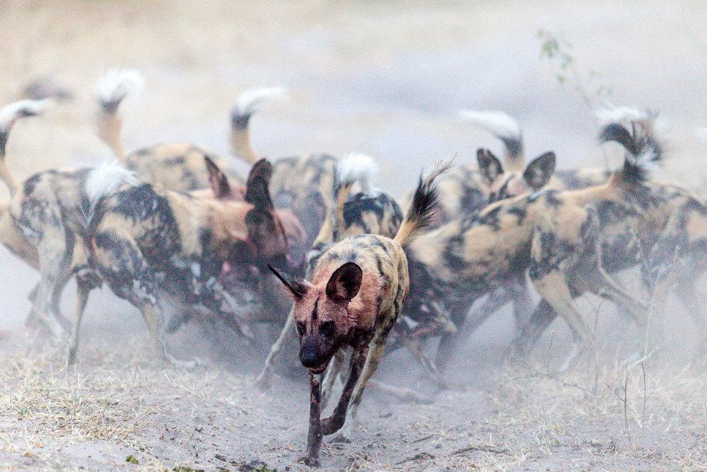 Wild Dog Frenzy