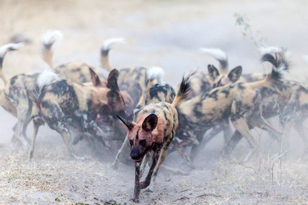 wild-hyenas-feeding-africa-01