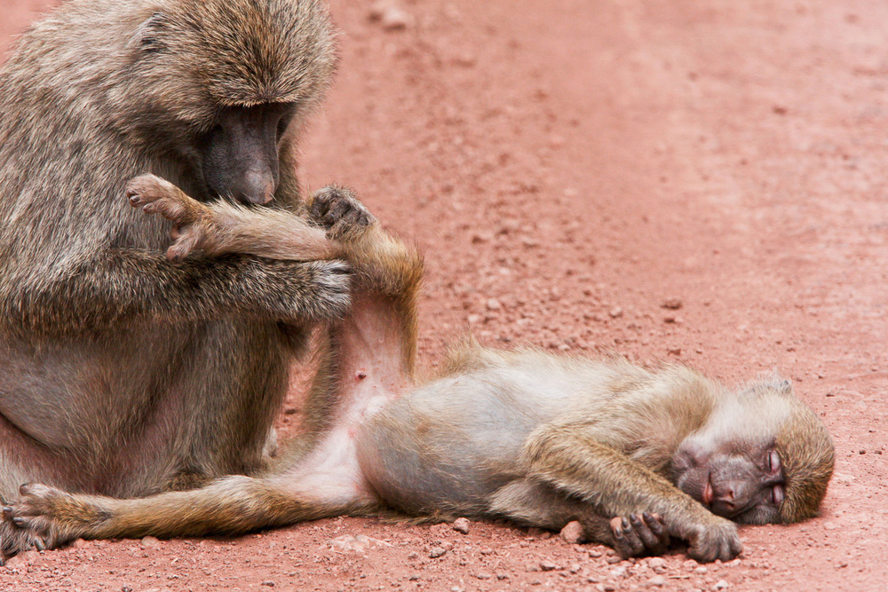 Olive Baboon and Baby