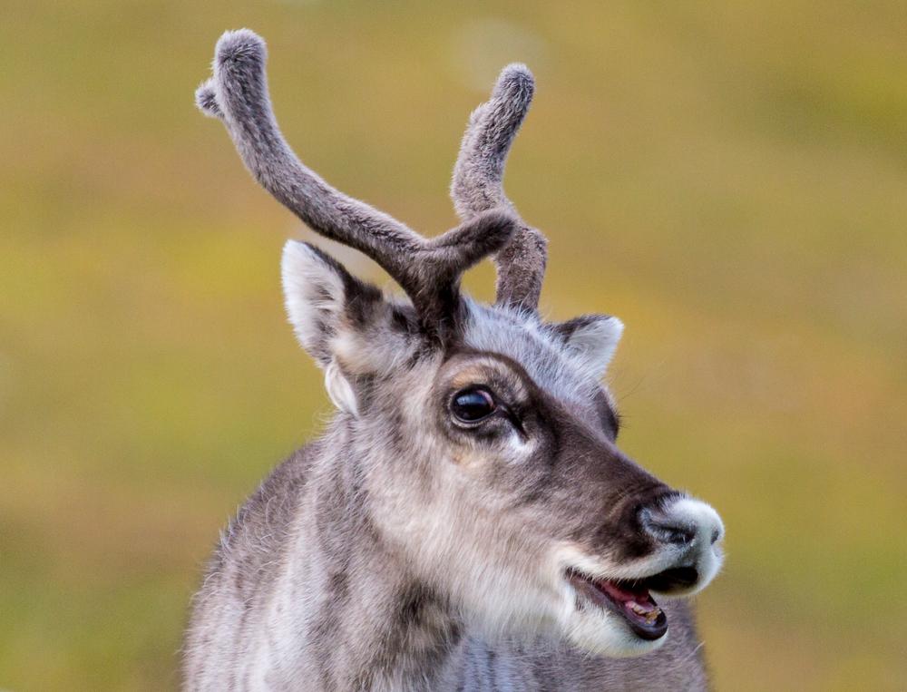 20140804_reindeer_8261.jpg