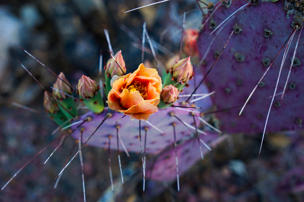 BLOOMING PURPLE PRICKLY CACTUS