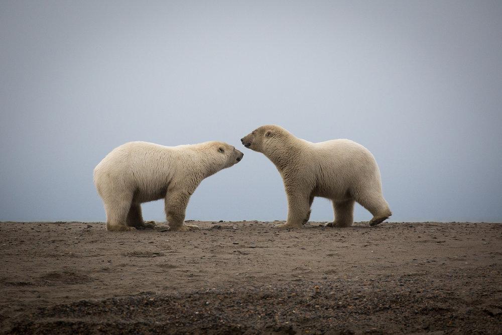 kaktovik-alaska-polar-bears-3
