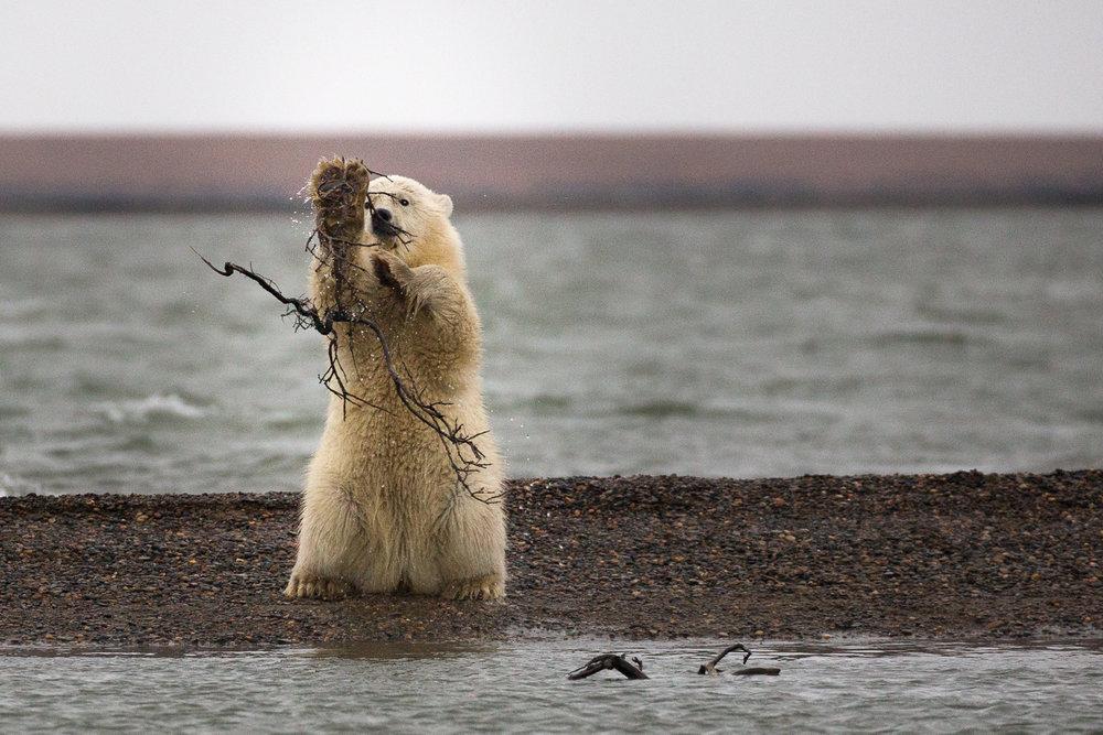 barter-island-alaska-polar-bears-1