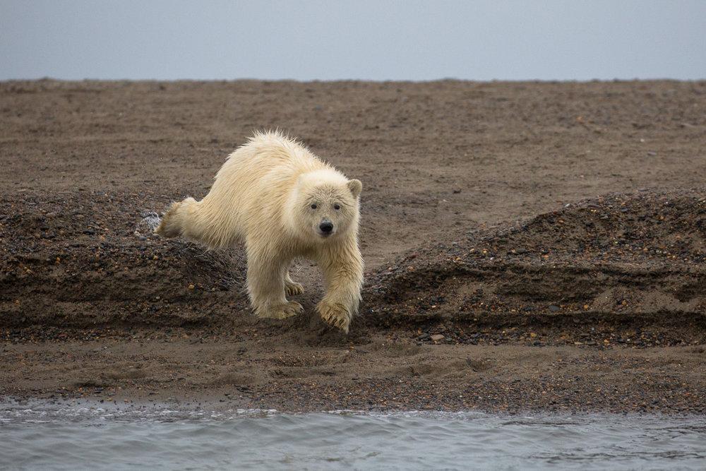 barter-island-alaska-polar-bears-2