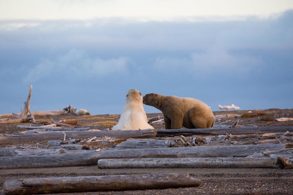 kaktovik-alaska-polar-bears-2