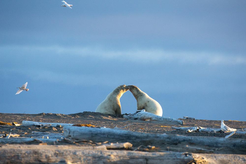 barter-island-alaska-polar-bears-3