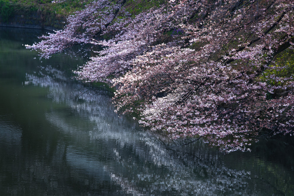 pond-cherry-blossoms-reflection