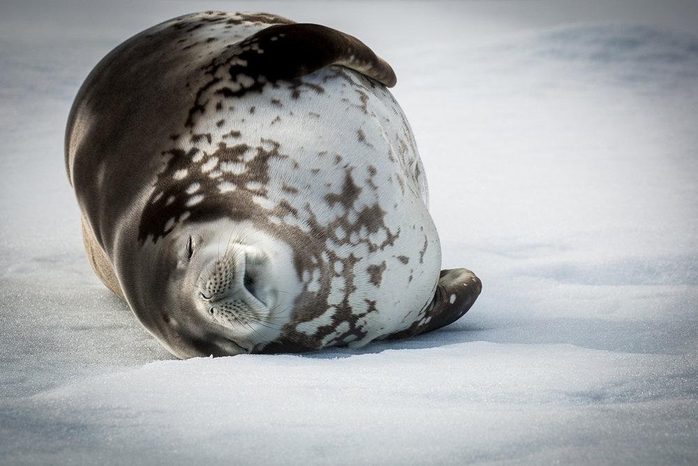 weddell-seal-glacier-antarctica