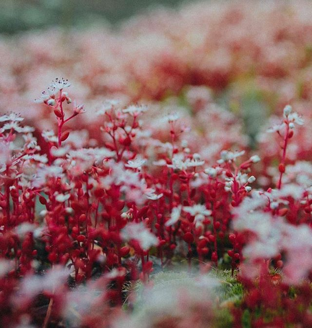 Diamorpha Smallii in bloom on Arabia Mountain. So awesome to see.  #arabiamountain #mountain #rocky #flowers #red #white #upclose #macro #exploregeorgia #georgia #plants #nikon #aesthetic