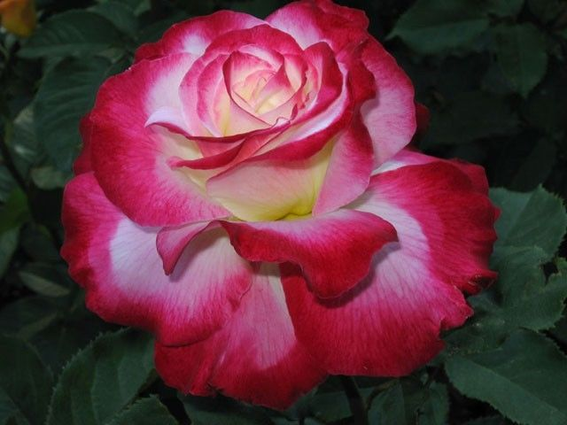 Double Delight, my second favorite Rose, after my mom.