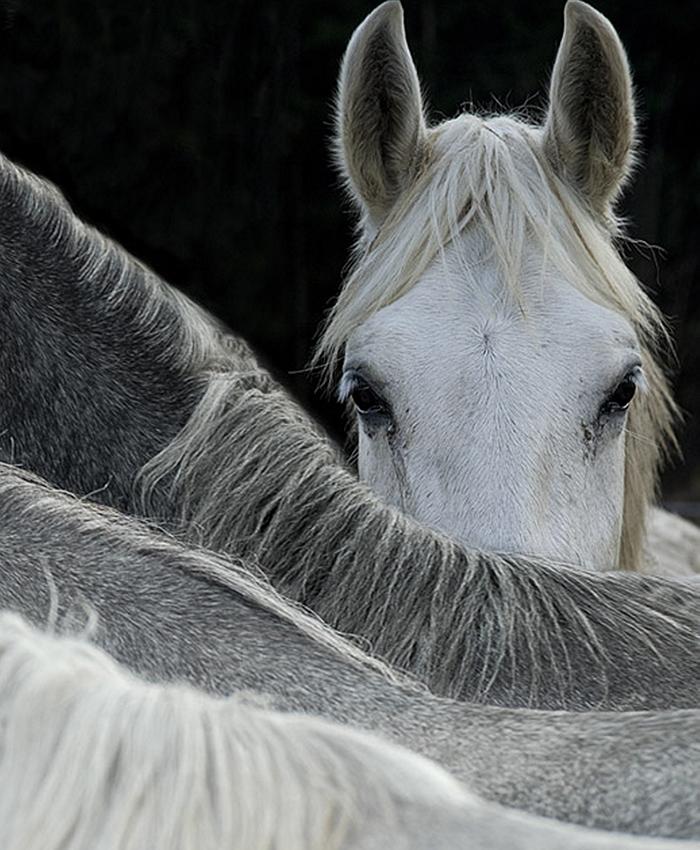 white-horse-300-dpi_2.jpg